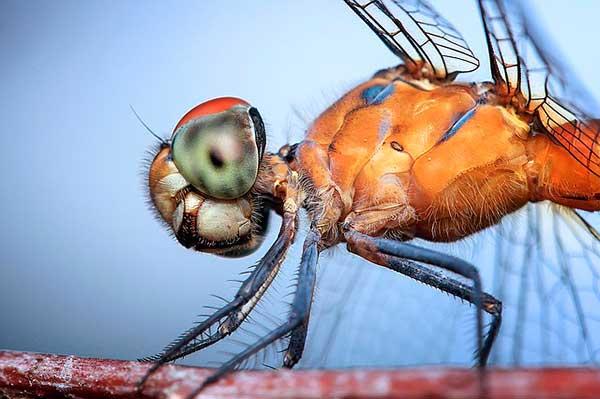 глазастое насекомое