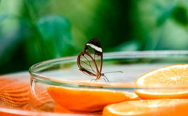 бабочка на варенье