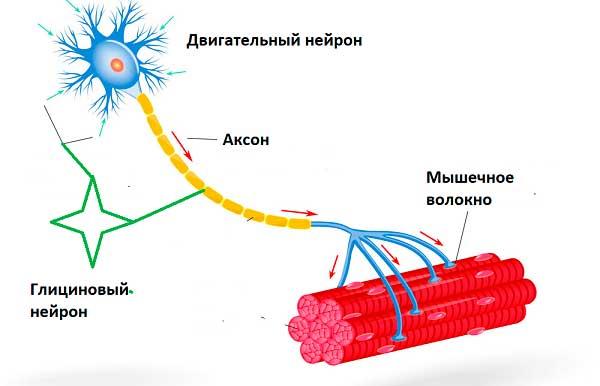 двигательный и глициновый нейроны