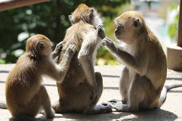 груминг обезьян
