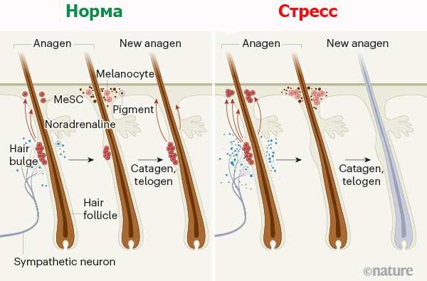 схема разрушения стволовых клеток в волосяных фолликулах з журнала Nature